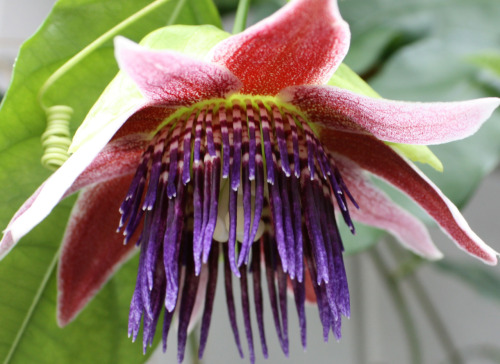 fuckyeahpassionflowers:  Passiflora venusta A relatively new addition to the passionflower family, P. venusta, was discovered in 2007 by R. Vásquez & M. Delanoy, in Bolivia.  http://www.passionflow.co.uk/passiflora-venusta.htm