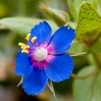 "fuckyeahbotany:  Anagallis arvensis azurea, scarlet pimpernel. This species is a common weed in Europe and North America.  This is beautiful!I'm now inspired to make a ""bread & butter"" series of flowers…i'll def share & post pics when im done.."