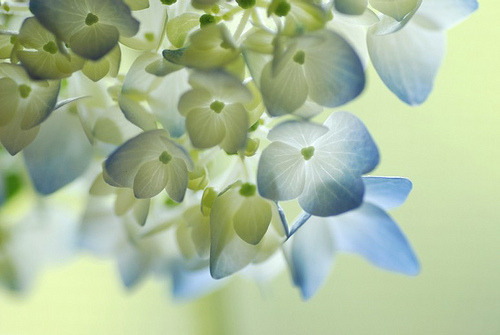 prettylittleflower:  flower of June (by *SuiKa*)