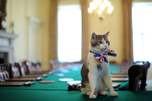 nationalpost:  Larry, the 10 Downing Street cat, sits on the cabinet table wearing a British Union Jack bow tie ahead of the Downing Street Royal Wedding street party in London, April 28, 2011. (Ben Stansall/AFP/Getty Images)Pomp & circumstance: The Royal Wedding Procession Interactive infographic: The marriage of Prince William and Kate Middleton will see thousands of spectators lining the procession route between Westminster Abbey and Buckingham Palace. Royal Wedding service details announced Britain has withdrawn the Syrian ambassador's invitation on the eve of the royal wedding and it emerged that Kate Middleton will not promise to obey Prince William in her marriage vows.No disco balls for Buckingham Palace Kate Middleton's younger sister and maid of honour, Pippa, has gotten herself into hot water with palace officials after trying to give the Royal Wedding reception a younger feel.  Even the cats are dressed up for the wedding.