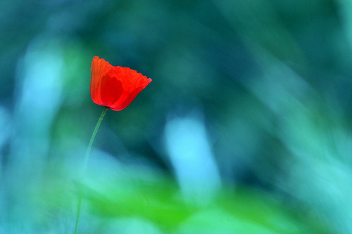 ~Poppy~ (explored) (by ~Shun~)