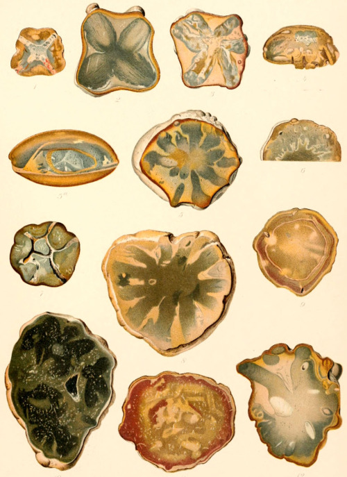 Laotira From: 'Fossil Medusæ' by Charles Doolittle Walcott. Published 1898