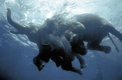 skeletales:  Swimming elephants (by oblaise)