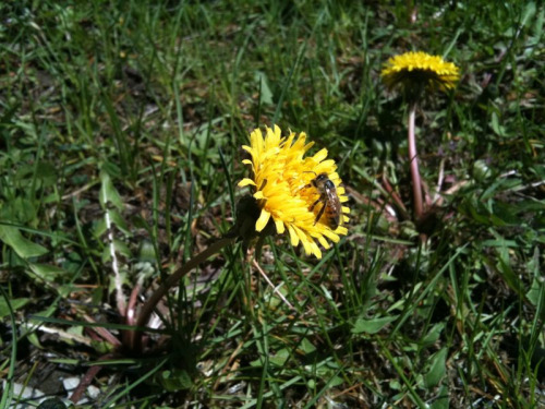 Working alongside the Bees today in the sun. Gathering Dandelion flowers for an herbal infused oil.