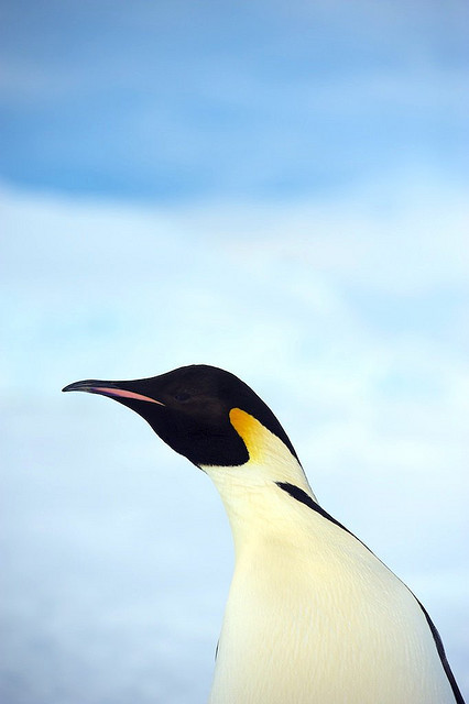 Portrait of Emperor Penguin