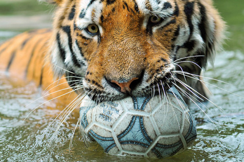 Playing with the ball 3 by Tambako the Jaguar on Flickr.
