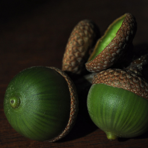 justcallmegrace:  Fresh acorns by justmakeit