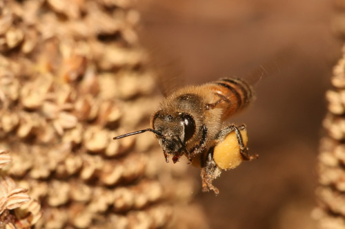 ohscience:  european honey bee carrying pollen back to its hive. honey bees have hair on their eyes.  little known fact about me: i am terrified of bees. and wasps. and flying insects that sting you.