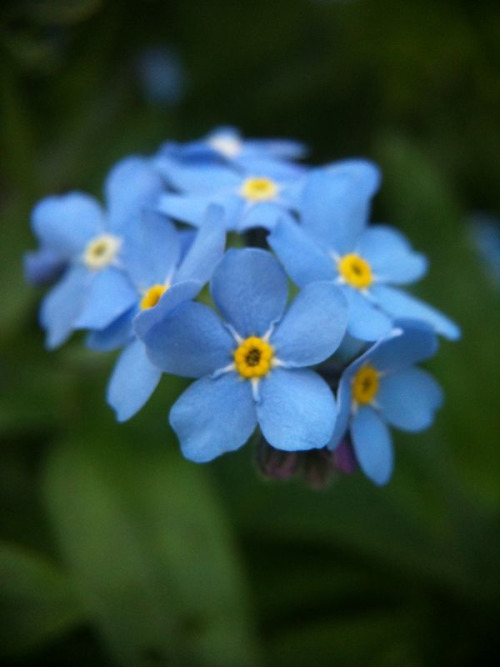 April 30: Forget Me Not