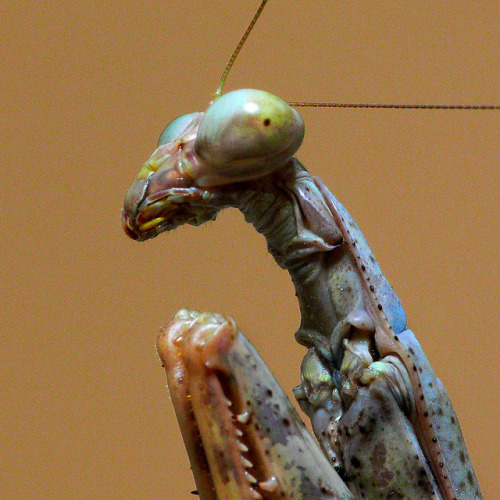creepicrawlies:  Praying Mantis 03 by timcoop