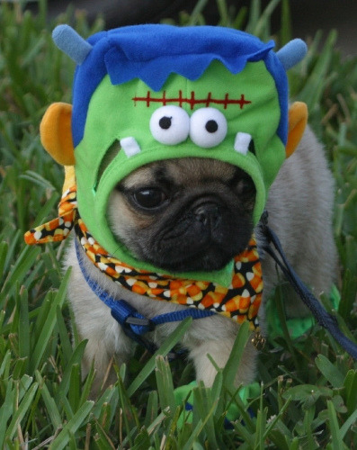 ilovepugs:  monster pug!!