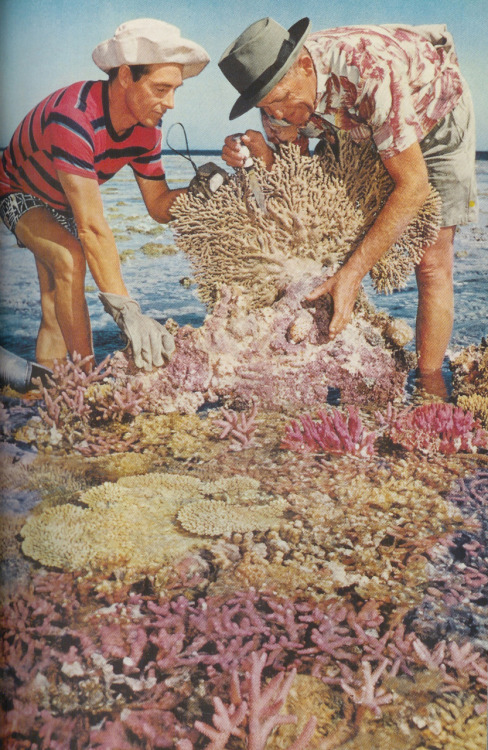 Collecters upend coral bushes in order to find mollusks, Australia, 1957