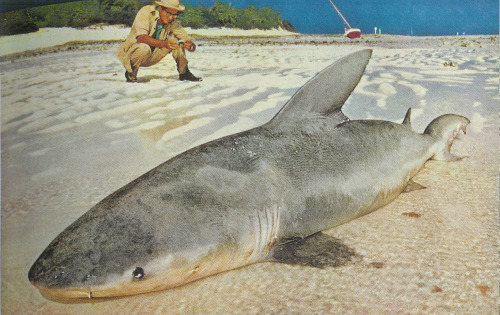 6ft long whaler shark caught off the coast of Heron Island, Australia, 1957