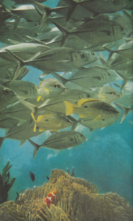 A school of trevally drifts over a giant anemone, 1957