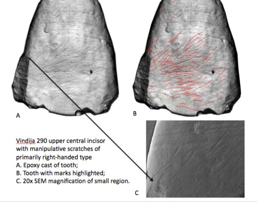 Ancient humans were also mostly right-handed. Scientists from the University of Kansas found evidence of ancient humans' handedness in an odd place:  front teeth. Scratch marks can be used to determine if ancient Homo species, living more than 500,000 years ago, used  their right or left hands to process animal hides. During processing,  they would stretch the hide by holding one side with one of their hands  and the other in their mouth. There are a whole bunch of implications of this, like the fact that because the brain was lateralized, they probably also had spoken language.