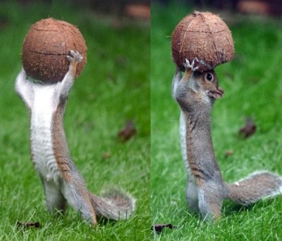 I wonder if there's anymore coconut juice left for the poor squirrel!