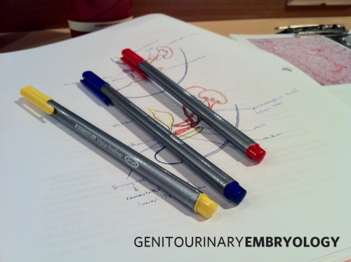 Genitourinary Embryology. Another day of embryological origins, another day with those red, blue and yellow Staedtler Triplus Fineliners. You just cannot get through embryology without a set of felts to help you colourize and codify the germ layers.