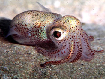 smug-as-a-snake:  7h3hun73r:  CUTIE  That's the Hawaiian bobtail squid! The first time I saw them in the lab where I worked with them for a summer, they were having sex.  But if you think that's cute, you should see the babies. Here's some pics I took of them: