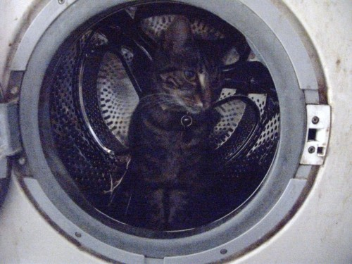 get out of there cat. you cannot be in that washing machine. you would probably shrink in the wash anyway. that's just ridiculous.