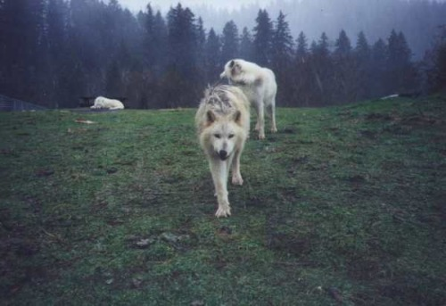 acehotel:  There are three wolves headed to Oregon, but their tour bus is broken down in Utah. The wolves are on an educational tour with Mission: Wolf, a non-profit, volunteer-run organization advocating for the preservation and understanding of wolves. They're trying to raise $12,000 more dollars to have their bus engine rebuilt so they can finish their mission and reach their destination in Oregon. Buy a mug, fill it with bourbon and toast the wolves under the moon. Buy a T-shirt or bag to show your feral pride. Or just donate to the cause and keep your soul out of purgatory. Visit the website and shop to help.  Whoa. Wolf tour. I need to see interior shots of their tour bus asap. I wonder what card games they play to pass the time on the road?