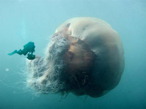 "darksideoftheshroom:  ""The Lions Mane Jellyfish is the largest jellyfish in the world. They have been swimming in arctic waters since before the dinosaurs (over 650 million years ago) and are among some of the oldest surviving species in the world. The largest can come in at about 6 meters and has tentacles over 50 meters long.""  wow"
