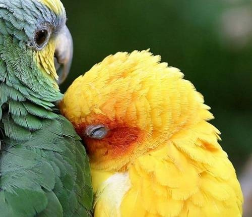 Despite all the unpleasant things I'm hopelessly fond of, snuggling parrots melt me so fast.