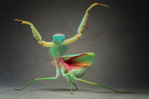 Giant Malaysian Shield Praying Mantis