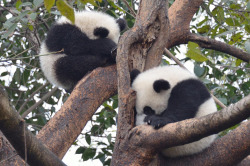 fuckyeahgiantpanda:  Two giant panda cubs at the Chengdu Giant Panda in China. © Peter Burbidge.