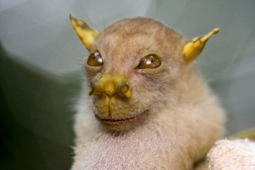 Tube Nosed Fruit Bat of Papa New Guinea