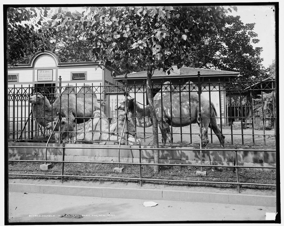 Central Park Zoo, c. 1905.  Click for Source.