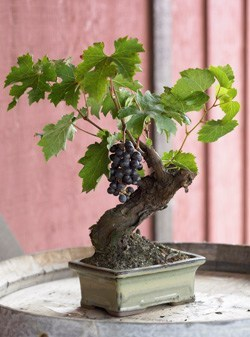 seanrrwilkins:  Cool gift for the wine nerds in your life…Bansia Grape Vine  via: thebrixupblog