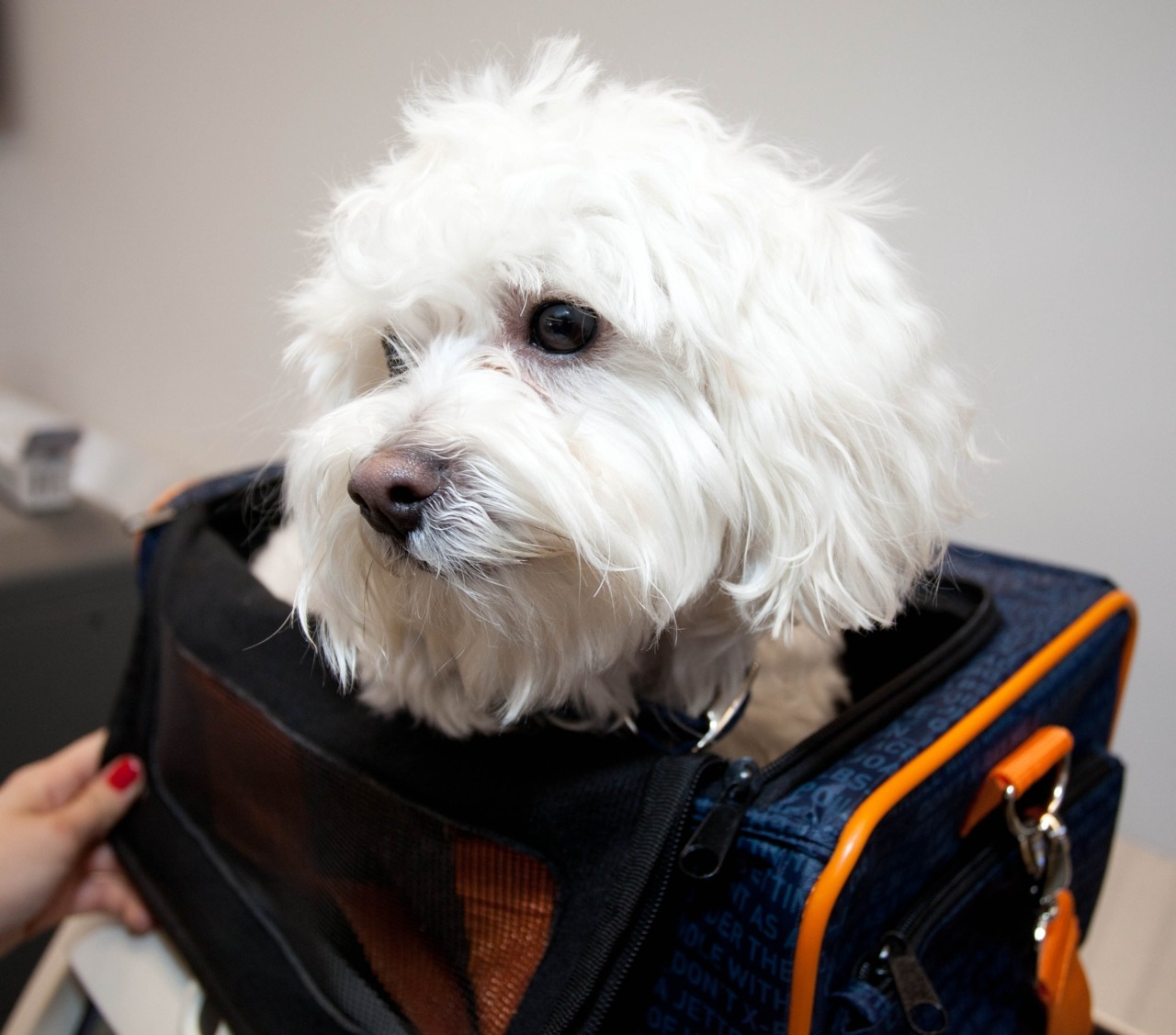 JetBlue salutes frequent flyer dog - He's the most peripatetic of pets, a Maltese poodle with a Hub connection who is now being lionized —- if it's possible for a poodle named Moose to be lionized —- as the poster dog of a new JetBlue Twitter promotion that aims to help an animal welfare foundation.