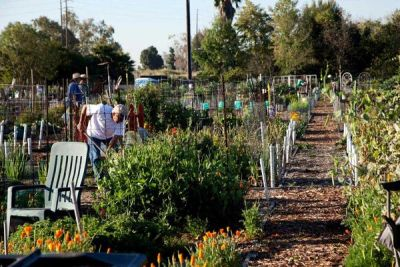 Long Beach Community Gardens is Doing It Right  Man, Long Beach is nailing it right now. latimes:  The spirit of sharing is growing at Long Beach Community Garden. Jeff Spurrier reports:  At Long Beach Community Garden, known for its stunningly high yields, all gardeners dedicate 10% of their harvest to one of five local charitable organizations. (Other community gardens also donate to food banks, but at Long Beach the giving seems to be on an entirely different level.) The biggest recipient is the Long Beach Rescue Mission, which provides three meals a day to 250 people.  Photo credit: Ann Summa   via good: