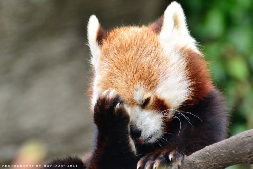 llbwwb:  Oh My God by *Havidor-Red Panda
