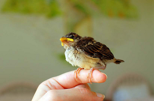 theanimalblog:  house sparrow (by princessinboots)