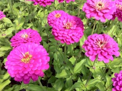 Zinnias on 3' Stems.