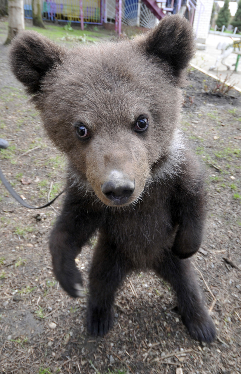 Photos of the Day, May 5, 2011A three month old bear cub who was born at the zoo in Stavropol takes a walk on May 5, 2011.