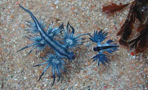 Sea Swallow, Blue Glaucus, Blue sea slug or Blue ocean slug (Glaucus atlanticus)  A species of medium-sized blue sea slug, a pelagic aeolid nudibranch, a marine gastropod mollusk in the family Glaucidae. The normal size of this species is between 5 and 8 cm in length. This nudibranch is pelagic, and is distributed throughout the world's oceans, in temperate and tropical waters. Glaucus is, like most sea slugs, a hermaphrodite, containing both male and female reproductive organs.