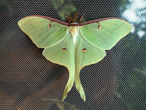 Luna Moth (Actias luna)  The Luna moth is a light-green moth that has long,  curving tails on its hindwings and distinctive eyespots on all four  wings. This nocturnal insect is found in deciduous hardwood forests in  North America, from Canada to Northern Mexico. Although rarely seen due to their very brief (1 week) adult lives, Luna Moths are considered common. As with all Saturniidae, the adults do not eat or have mouths. They emerge as adults solely to mate, and as such, only live approximately one week. They are more commonly seen at night.