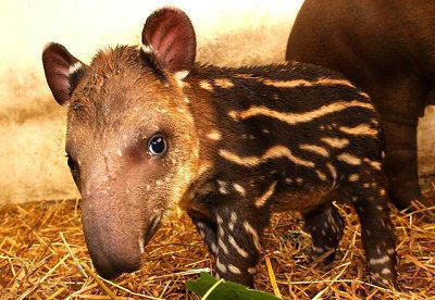 I've decided to make today my own tapir day. I don't care that I'm a week late.