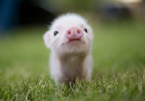 Piggies are friends, not food.