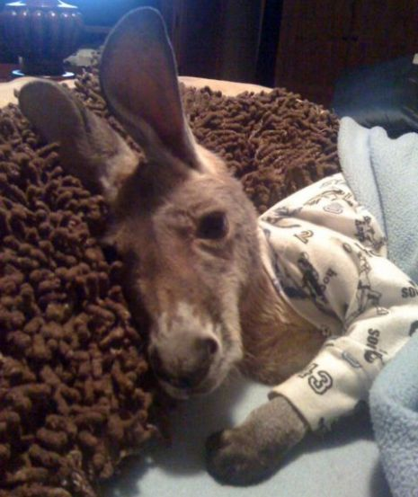 drop everything this is a baby kangaroo in pajamas.  Awwww!! He looks sad.