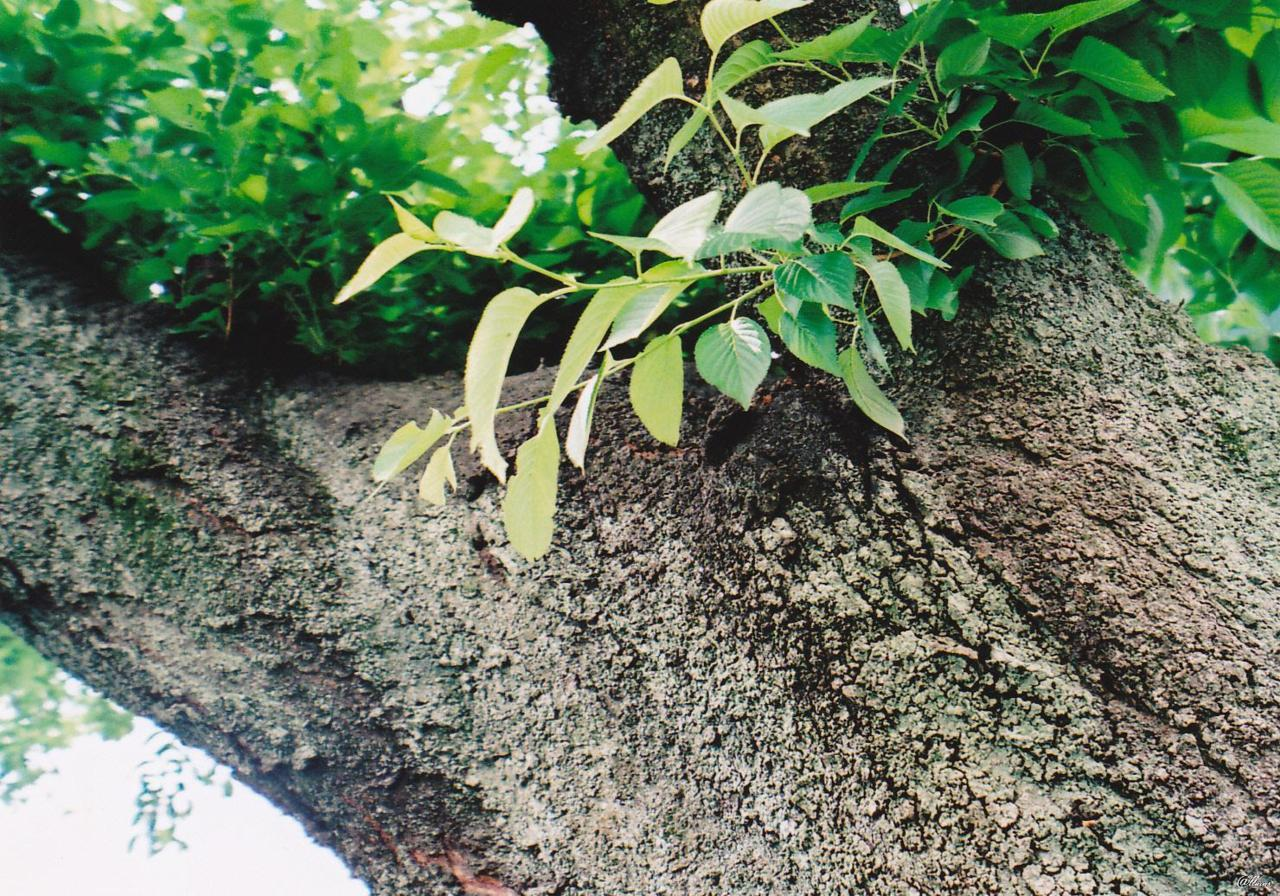Moss on a tree. / Tokyo I thought this was pretty, but actually this moss is hurting this tree… I didn't know about that, but when I heard about it, it made me sad :( Beautiful but sad. (Natura)