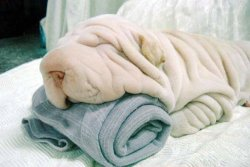 nioniel:  sofapizza:  theamericankid:  This is a dog.  someone forgot to iron the wrinkles out  :3 aw