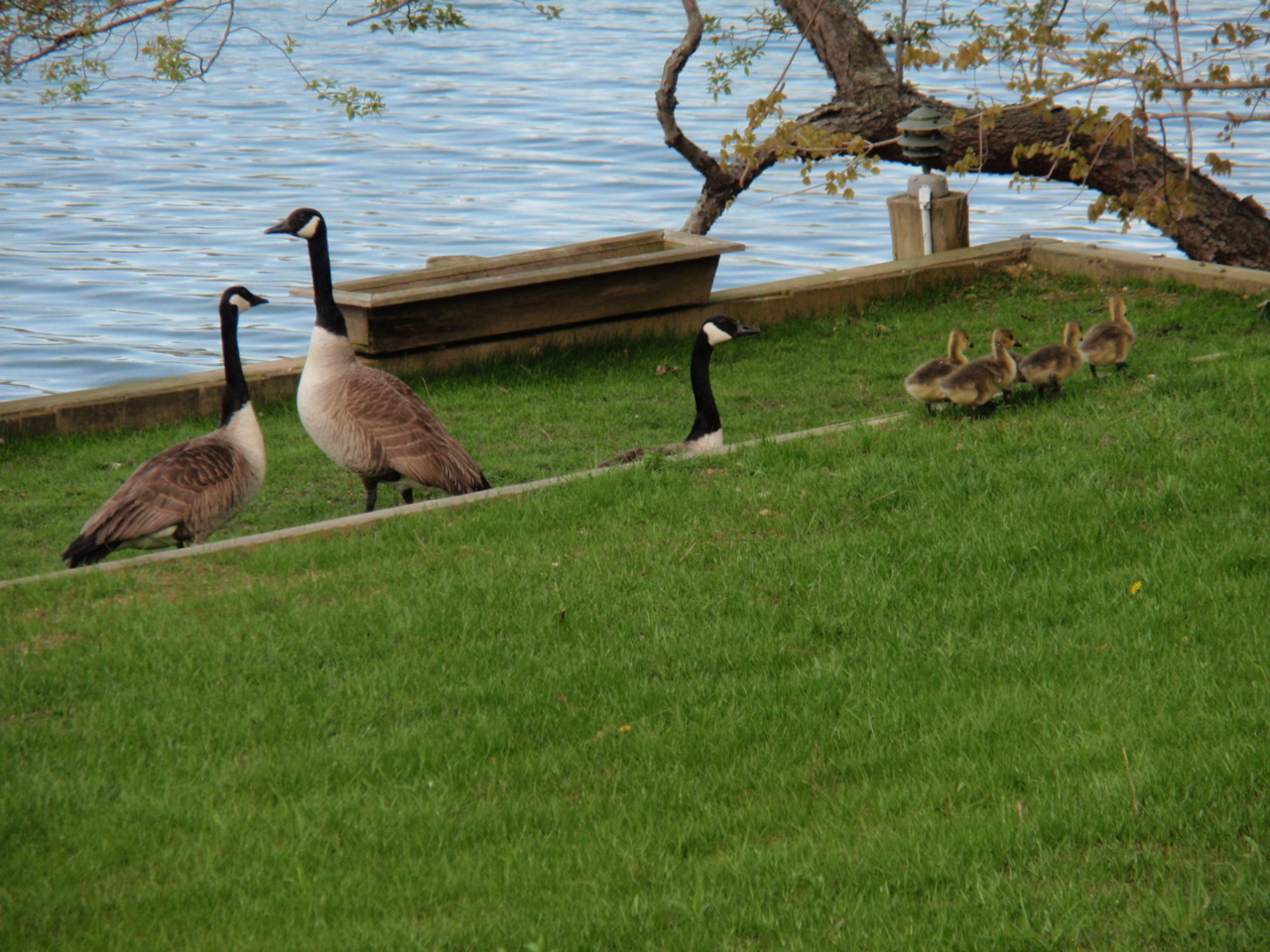 Just received an email from the parents regarding this family of geese which has decided to reside behind my house, along with this photo. Makes me want to head back home from school earlier than I had intended.