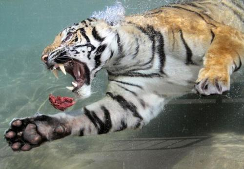 thebigcatblog:  Akasha, a two-year-old female Bengal tiger, swims after a chunk of  meat thrown into her pool at Six Flags Discovery Kingdom in Vallejo,  California Picture: REUTERS