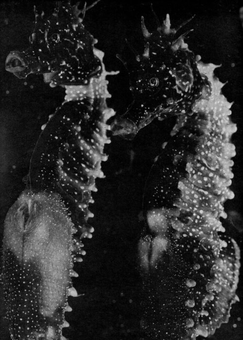 "The Seahorse (1934), one of Jean Painlevé's ""scientific-poetic"" sea documentaries  ""In the early 1930s, when Painlevé set out to make one of the first films ever to use footage shot underwater, he chose as its subject the seahorse—a species with unusual, and to Painlevé, commendable sex roles: whereas it is the female seahorse who produces the eggs, it is the male who gives birth to them. 'The seahorse,' he would later write, 'was for me a splendid way of promoting the kindness and virtue of the father while at the same time underlining the necessity of the mother. In other words, I wanted to re-establish the balance between male and female."" -excerpted from Maverick Filmmaker Jean Painlevé (via)"