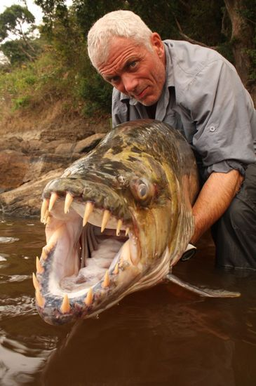 creepicrawlies:  Goliath Tigerfish of the river Congo. via weirdanimals
