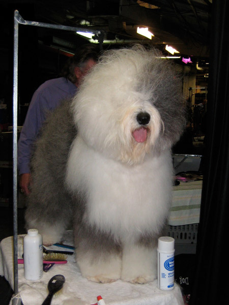 An Old English Sheepdog gets pretty backstage the 2011 awards.