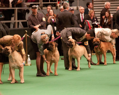 A line of Bullmastiffs await judging.